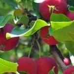 apples1-1